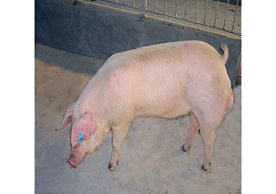 美丹新英系杜洛克公猪