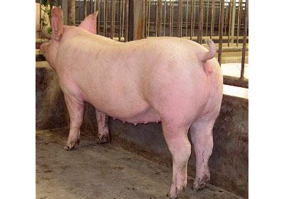 美丹新英系大白母猪