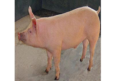 美丹新英系大白公猪